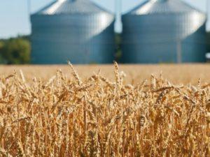 Skup rzepaku i zbóż Agroczos